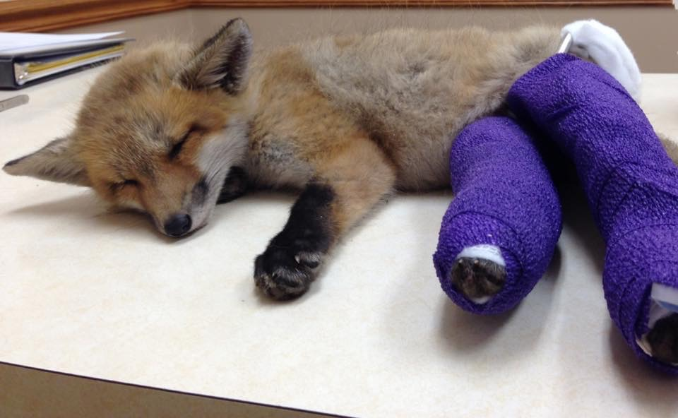 injured red fox